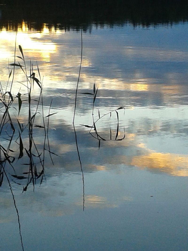Reeds in Kvarnsjön