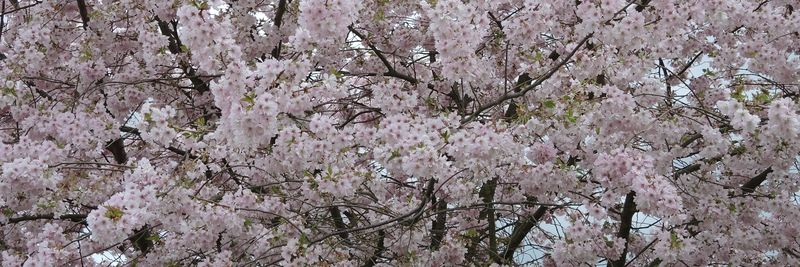 923_tree_in_bloom_cropped