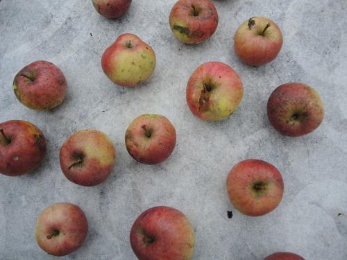 131_apples_500x375
